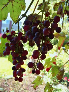 Grapes grow in North Germany, too