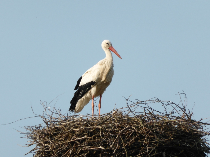 Spring in North Germany: the white stork
